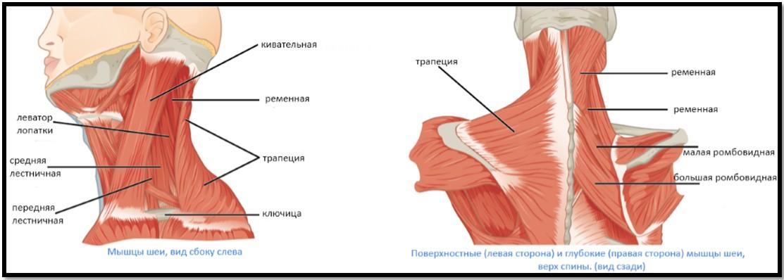 Мышцы задней части шеи