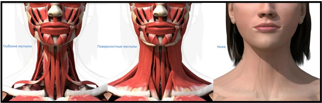мышцы шеи по степени залегания