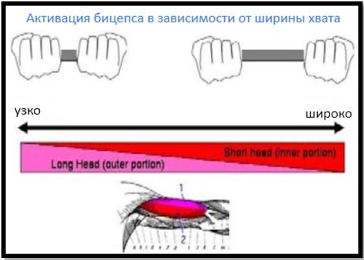 активация головок бицепса в зависимости от ширины хвата