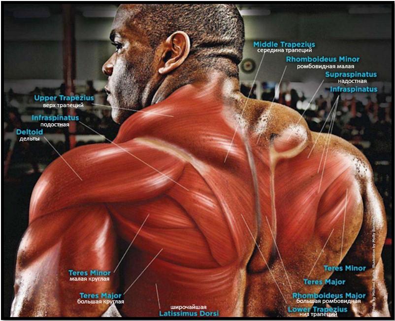 полный мышечный атлас спины