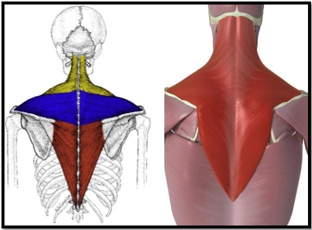 мышцы трапеции, расположение