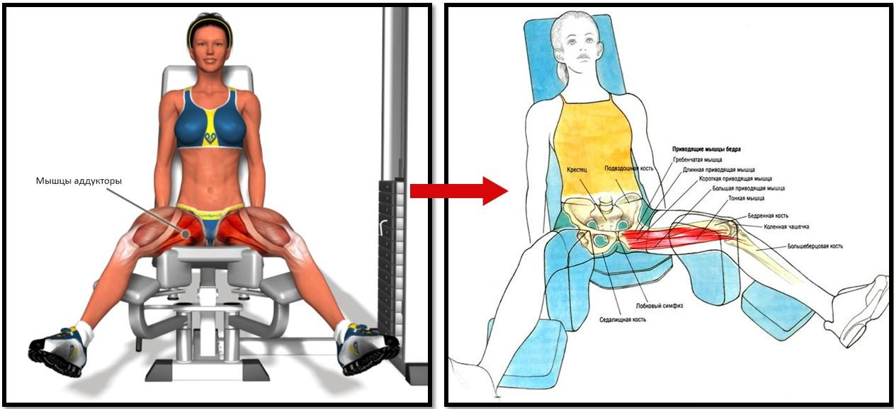 Сведение ног в тренажере, мышцы в работе