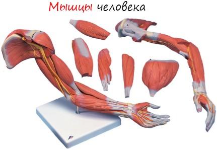 мышцы человека, строение